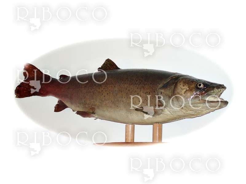 Риболовен трофей Hucho-hucho Taimen 22.50 kg