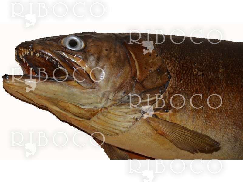 Риболовен трофей Hucho-hucho Taimen 23.50 kg