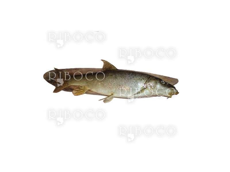 Риболовен трофей бяла мряна 4.850 kg